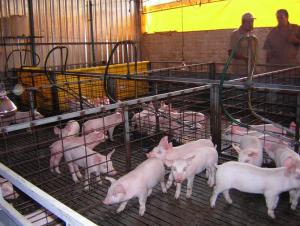 Elaboración del jamón I. Cría del cerdo